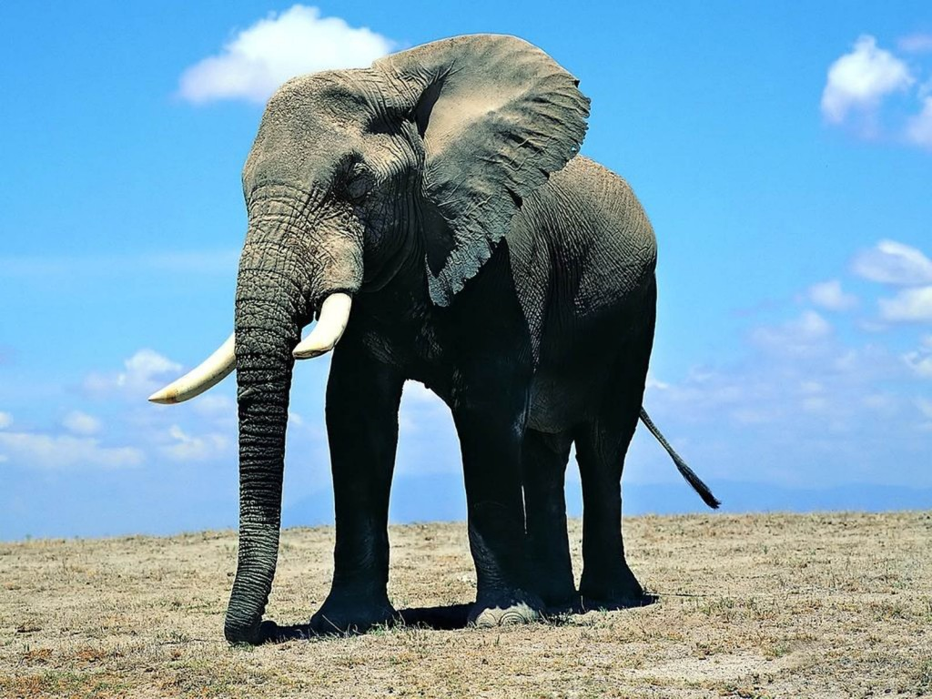 Elephant Wallpapers 2